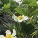 Erdbeerblüte im Folientunnel