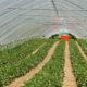 Erdbeeren zum selber pflücken