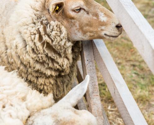 Schafe auf unserem Hoffest