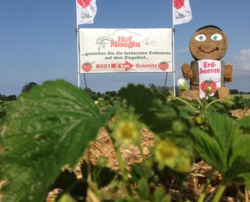 Erdbeeren auf dem Hof Mougin