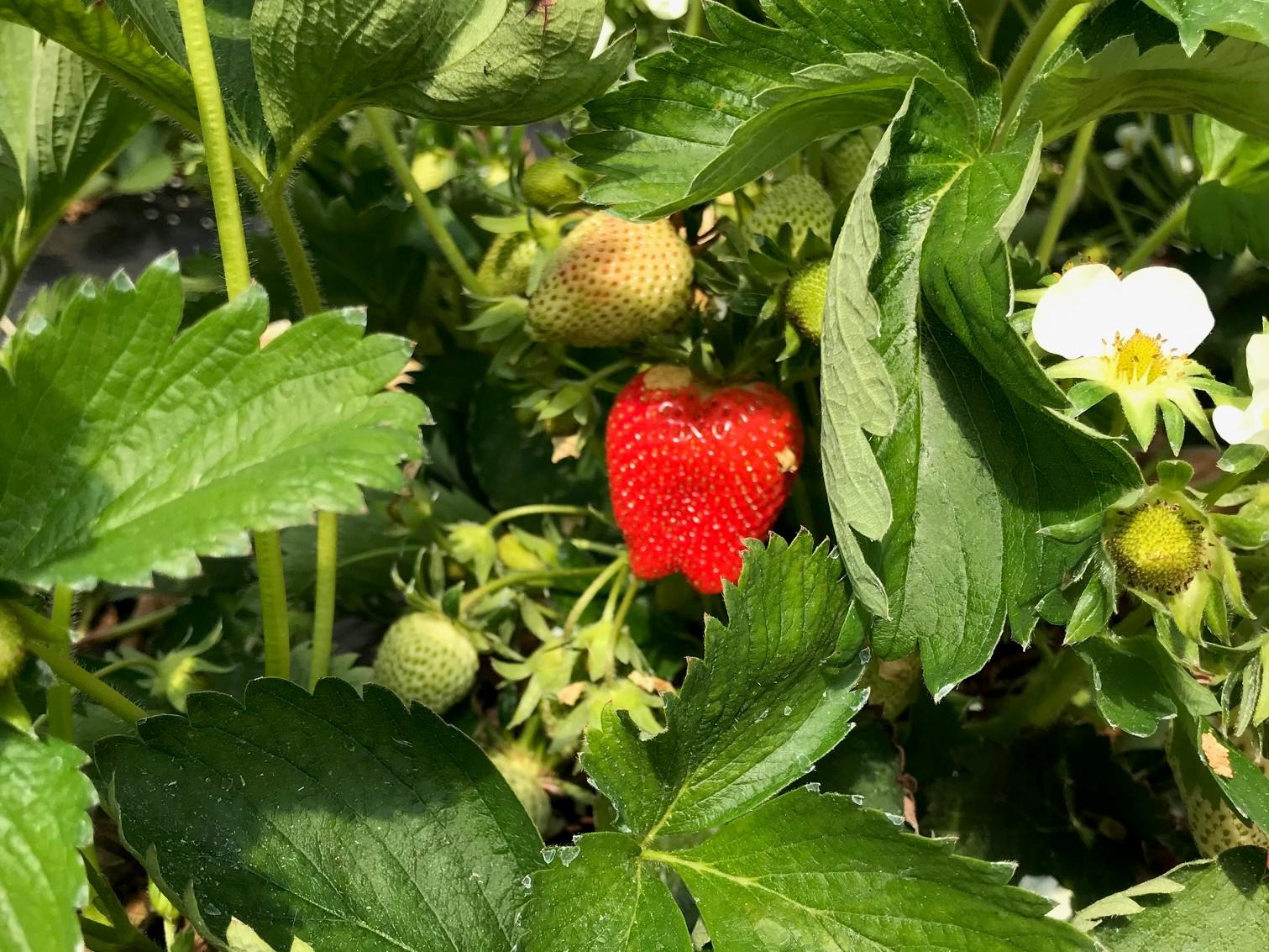 neben der weißen Blüte die strahlende Erdbeere