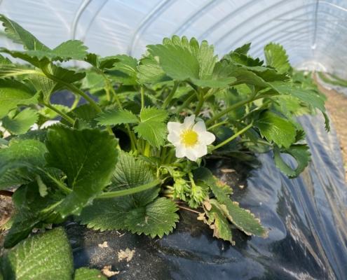 Blüten im Tunnel - Hof Mougin