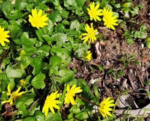 Gelbe Blüten des Scharbockskrautes