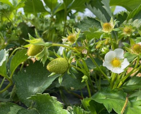 Grüne Erdbeeren - Hof Mougin