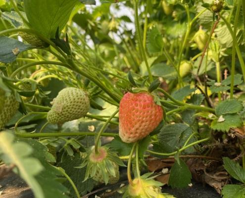 Reifende Erdbeeren - Hof Mougin
