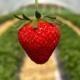 Die ersten Erdbeeren - Hof Mougin