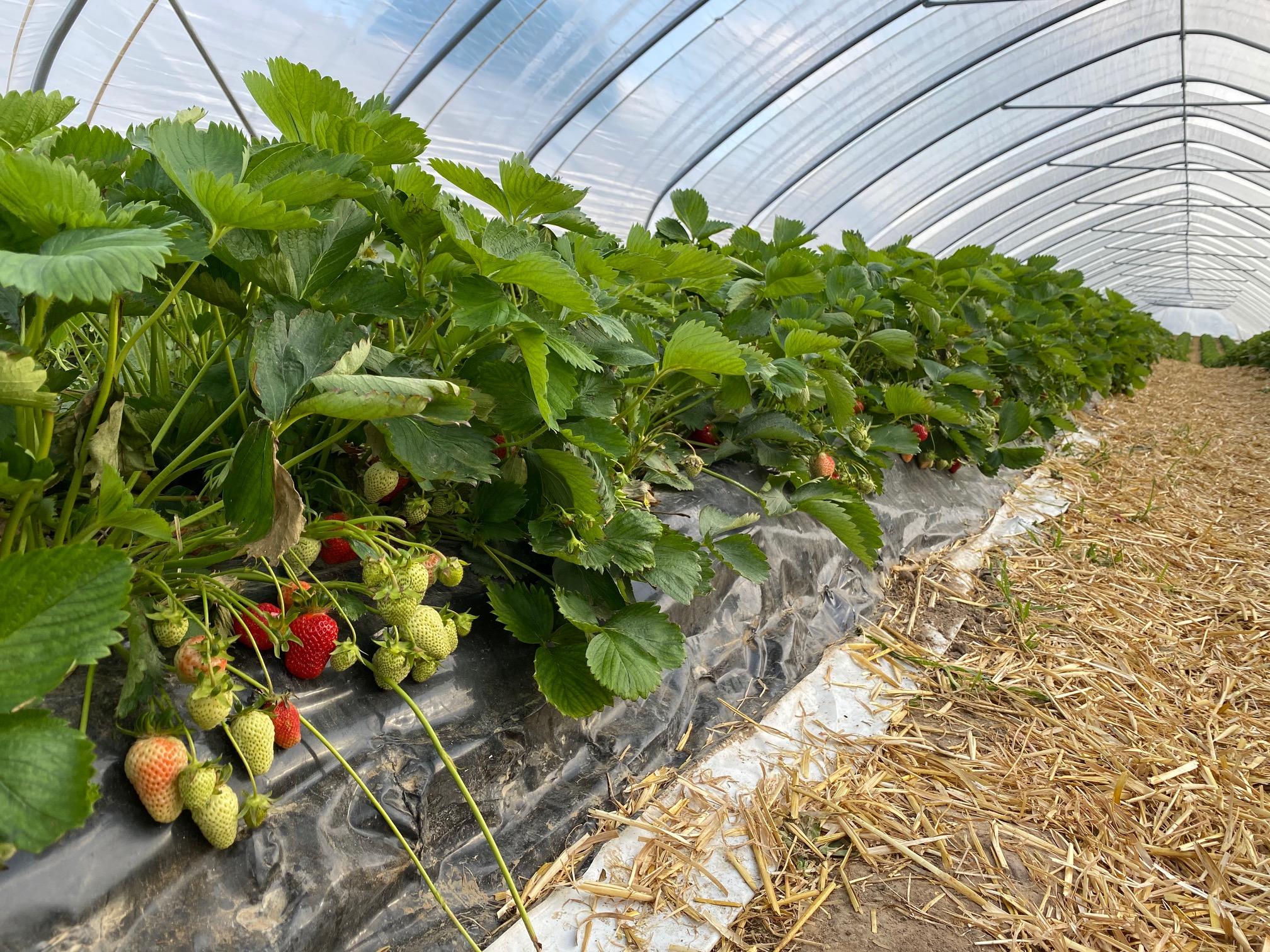 Erdbeeren - Hof Mougin