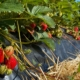 Selbstpflücken - Erdbeeren - Hof Mougin