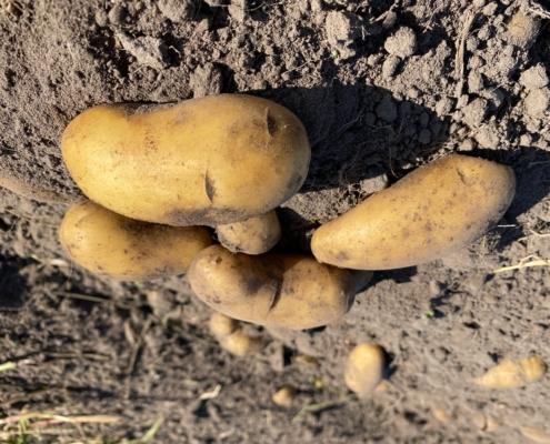 Kartoffeln - Hof Mougin