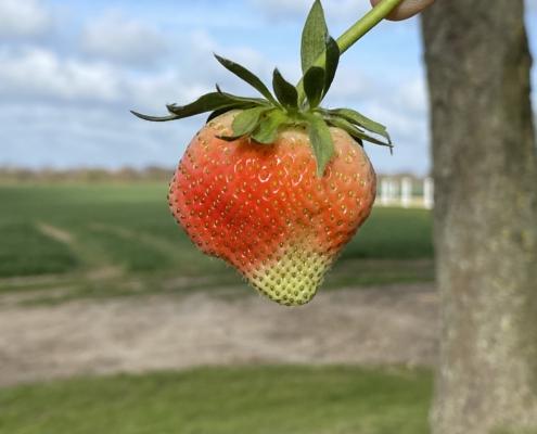 Erdbeere - Hof Mougin