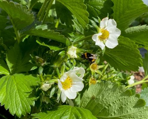 Hummel und Erdbeerblüte - Hof Mougin