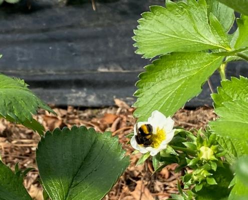 Hummel auf Blüte - Hof Mougin