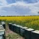 Bienen im Raps - Hof Mougin