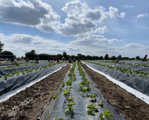 Neue Erdbeerpflanzen - Hof Mougin